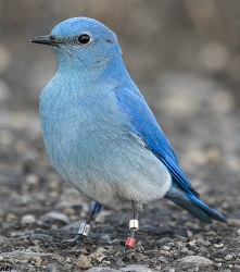 Stauffer-Henley carries banding pliers for Bluebirds